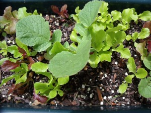 Mixed lettuce and radishes from last spring